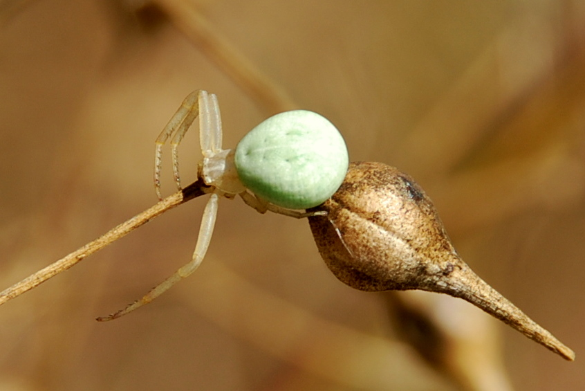 Misumena vatia - Thomisidae