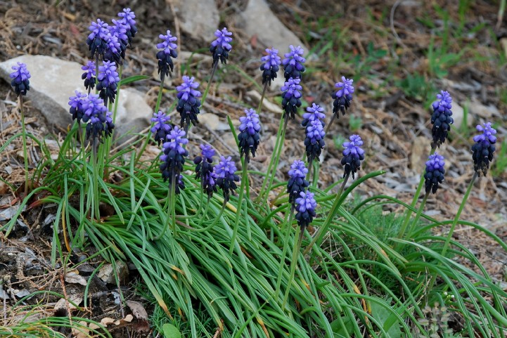 Muscari neglectum 6