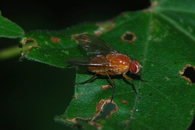 Muscidae 3