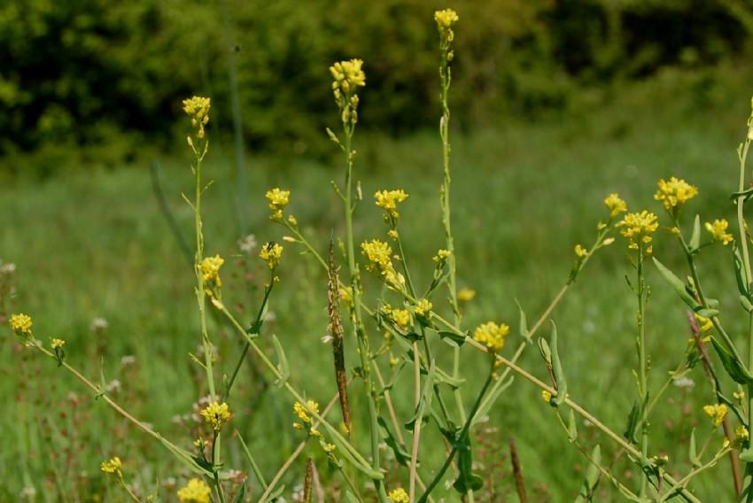 Myagrum perfoliatum