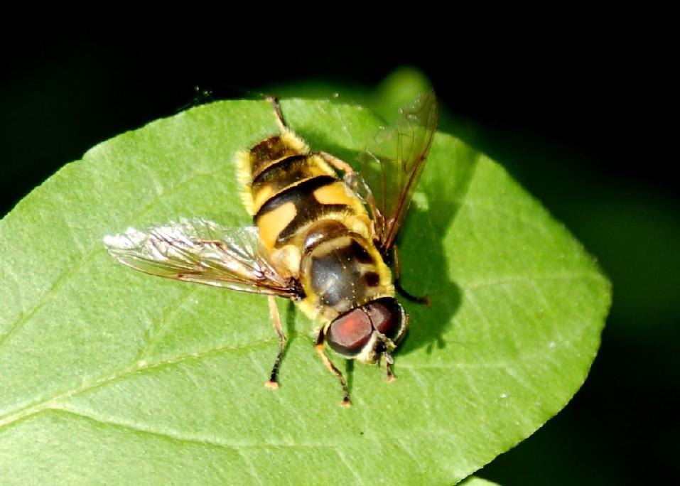 Myathropa florea - Syrphidae