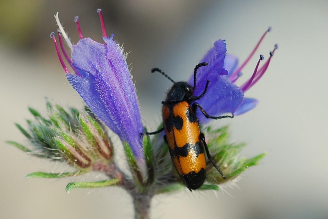 Mylabris variabilis - Meloidae