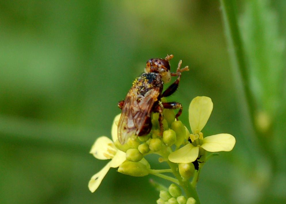 Myopa sp. - Conopidae