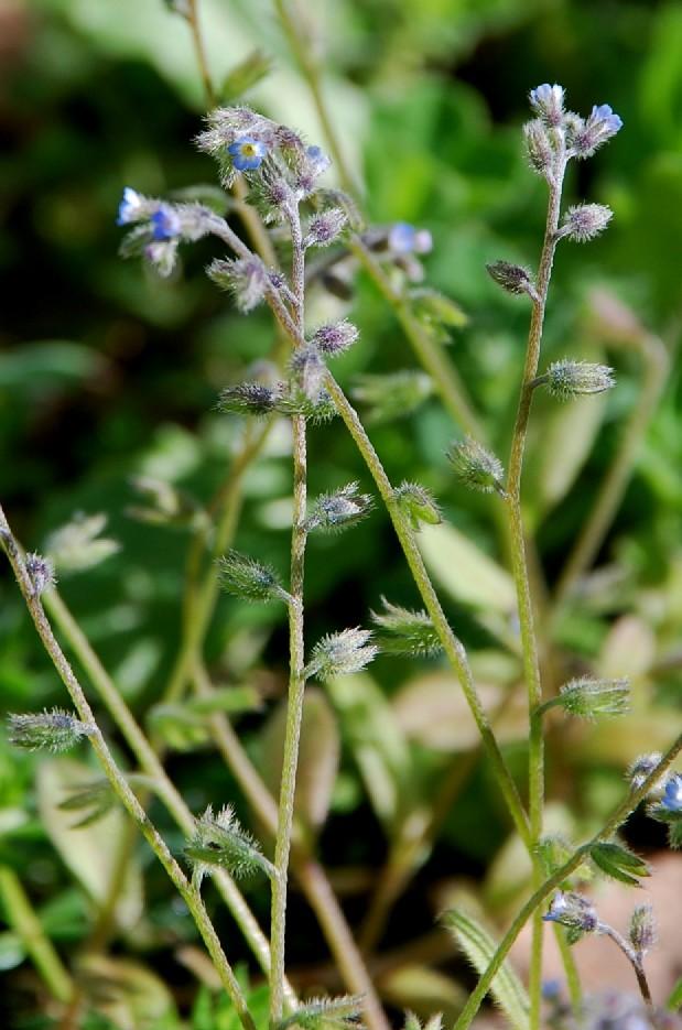 Myosotis ramosissima 7