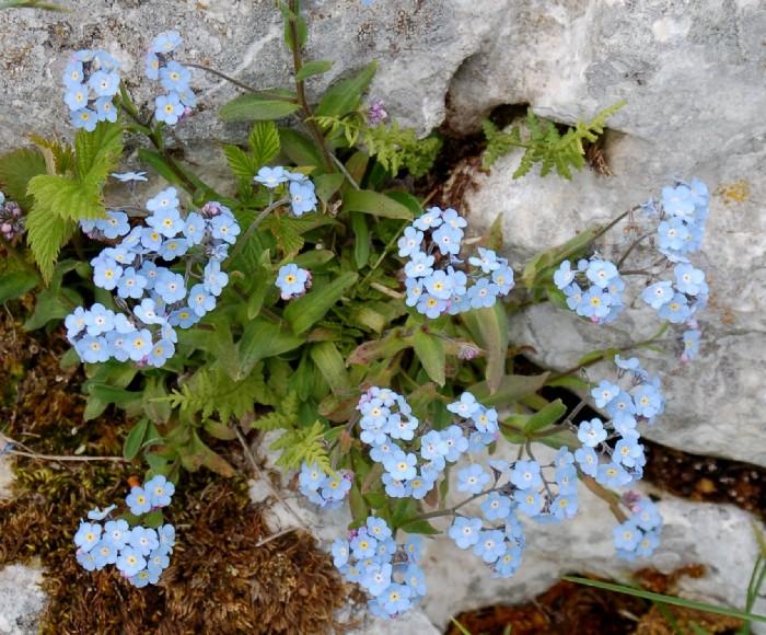 Myosotis sylvatica subsp. sylvatica