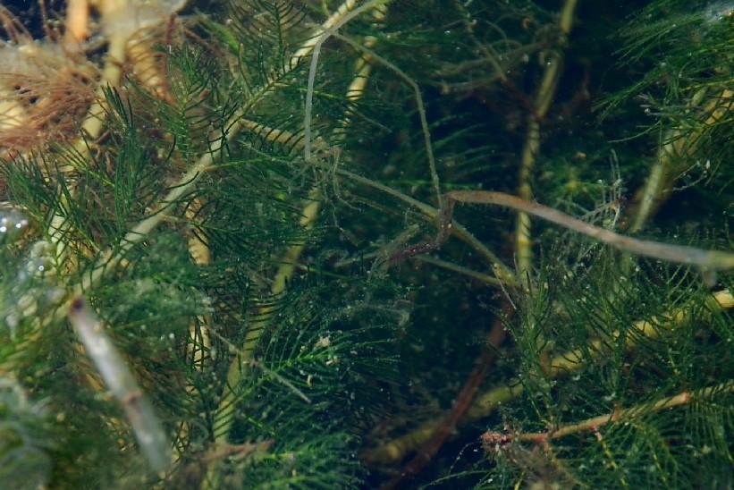Myriophyllum spicatum 4