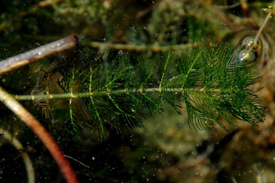 Myriophyllum spicatum 7