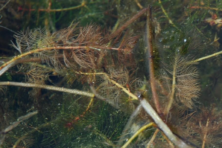 Myriophyllum spicatum 8