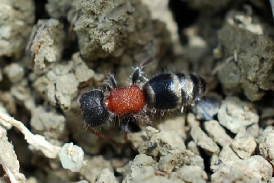 Myrmilla sp. - Mutillidae