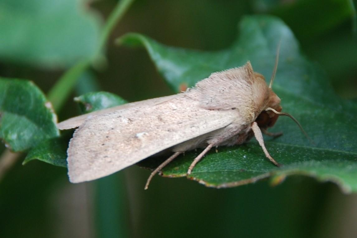 Mythimna ferrago - Noctuidae