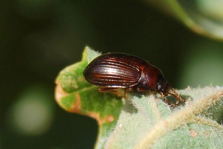 Nalassus dryadophilus - Tenebrionidae