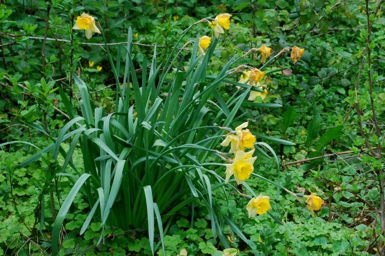 Narcissus pseudonarcissus 10