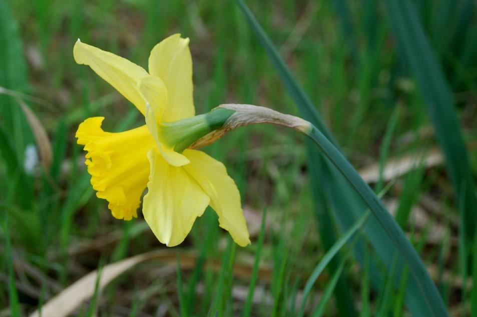 Narcissus pseudonarcissus 2