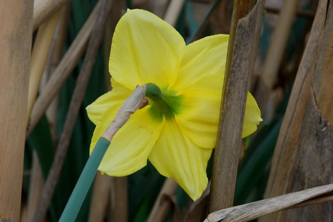 Narcissus pseudonarcissus 3