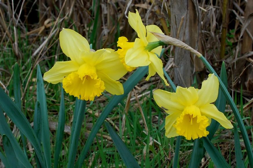 Narcissus pseudonarcissus 4