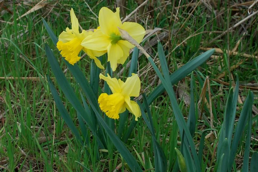 Narcissus pseudonarcissus 7