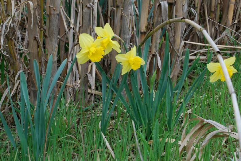 Narcissus pseudonarcissus 8