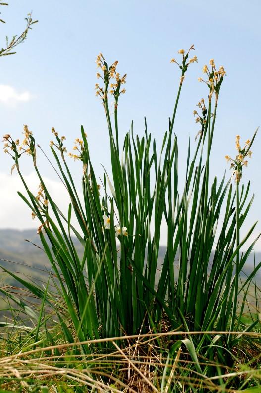 Narcissus tazetta subsp. tazetta 13