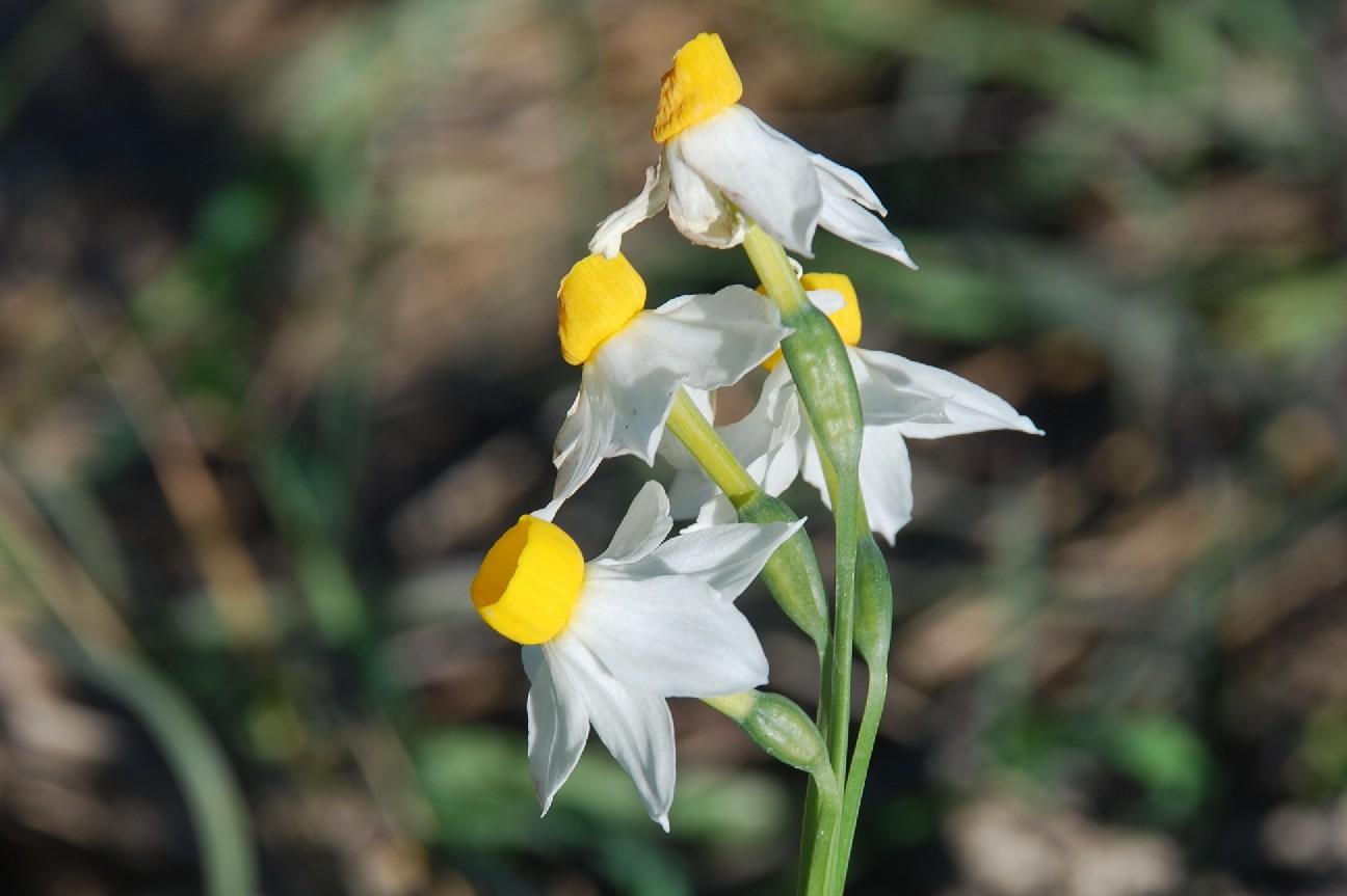 Narcissus tazetta subsp. tazetta 14