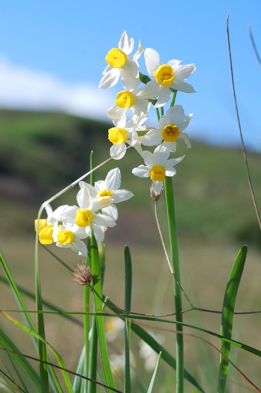 Narcissus tazetta subsp. tazetta 16