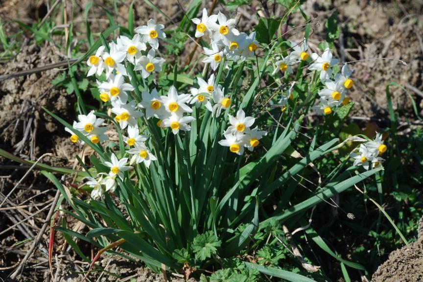 Narcissus tazetta subsp. tazetta 19