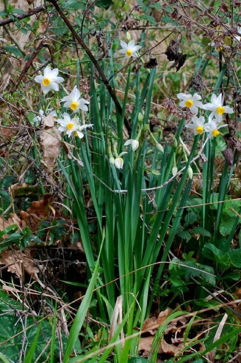 Narcissus tazetta subsp. tazetta 21