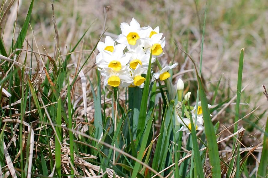 Narcissus tazetta subsp. tazetta 23