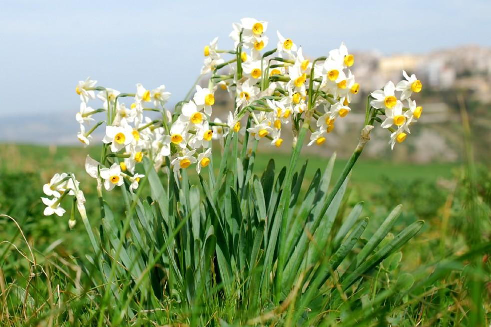 Narcissus tazetta subsp. tazetta 24