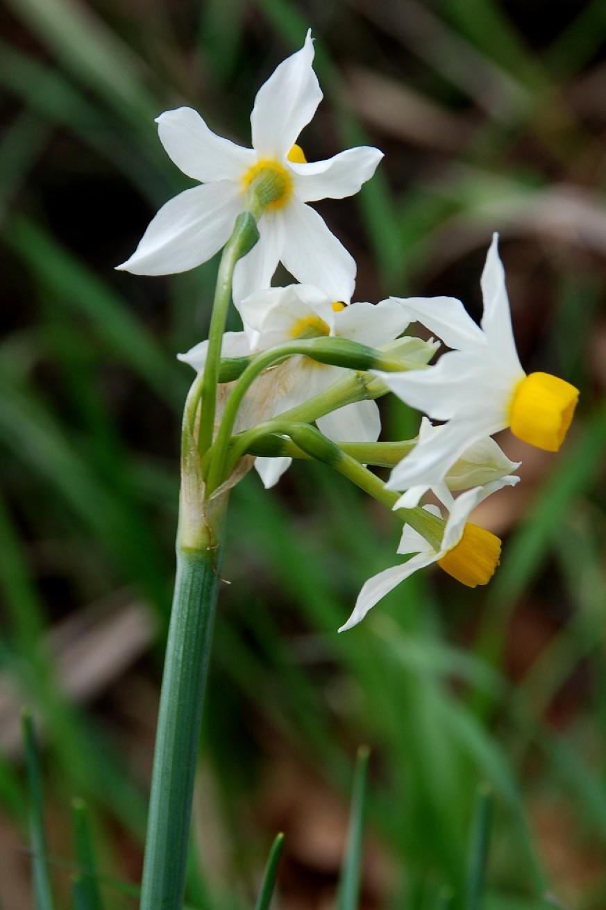 Narcissus tazetta subsp. tazetta 4