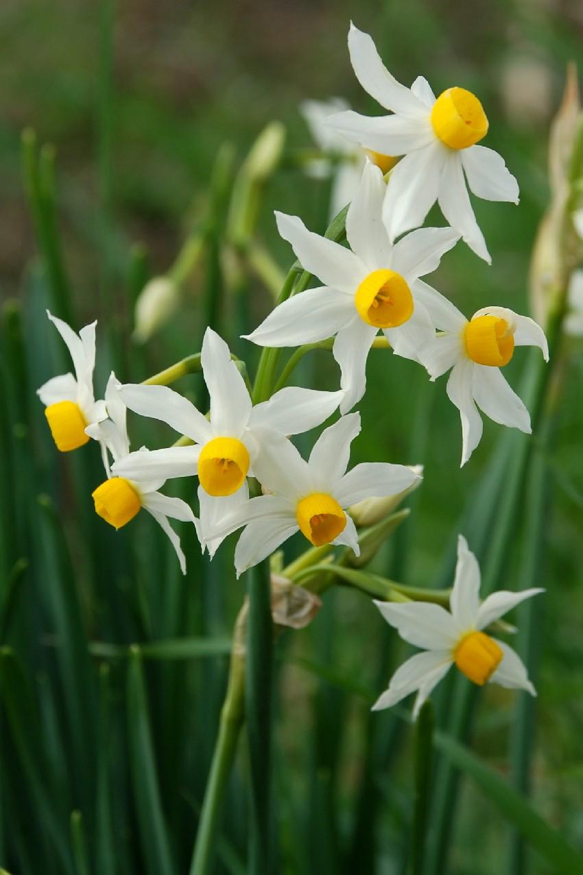 Narcissus tazetta subsp. tazetta 5