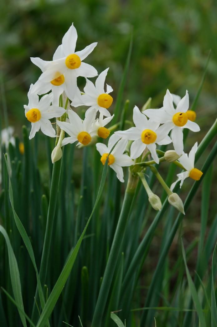 Narcissus tazetta subsp. tazetta 6