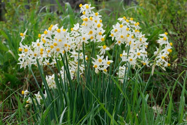 Narcissus tazetta subsp. tazetta 7