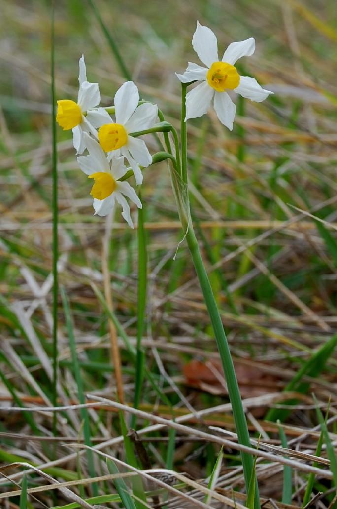 Narcissus tazetta subsp. tazetta 9