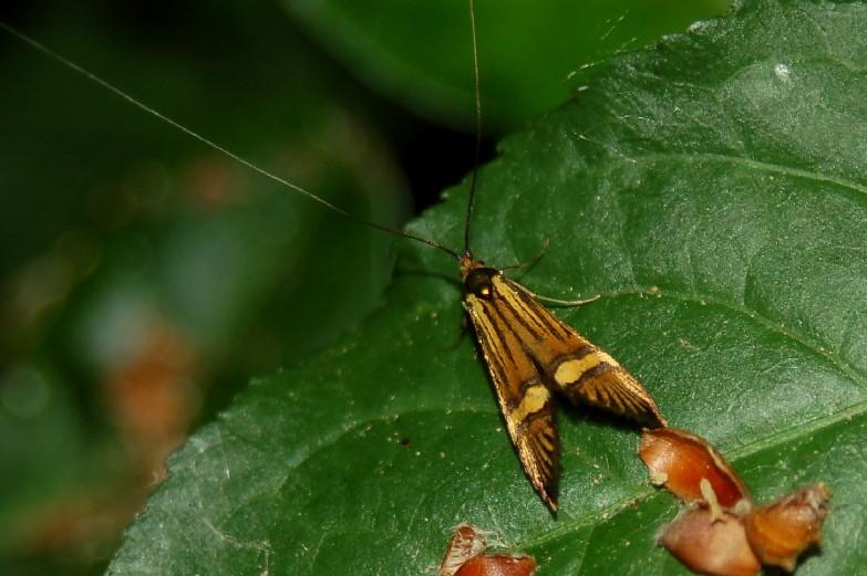 Nemophora degeerella - Adelidae