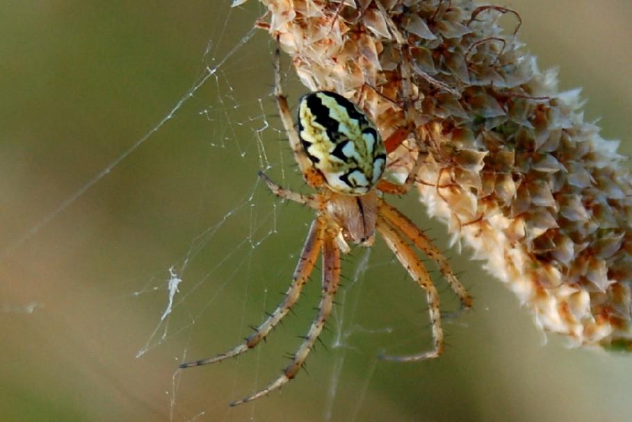Neoscona adianta - Araneidae