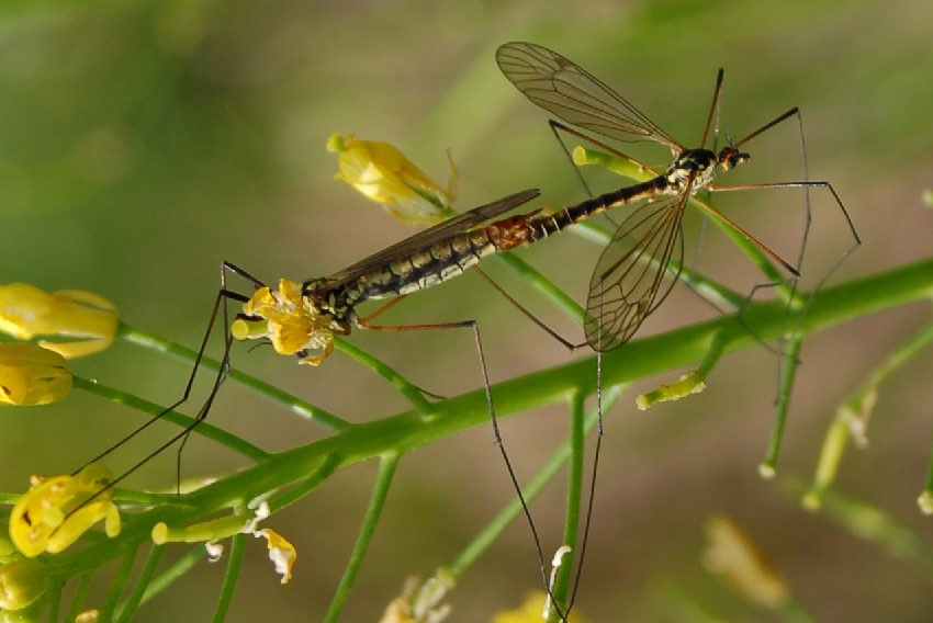 Nephrotoma sp. - Tipulidae