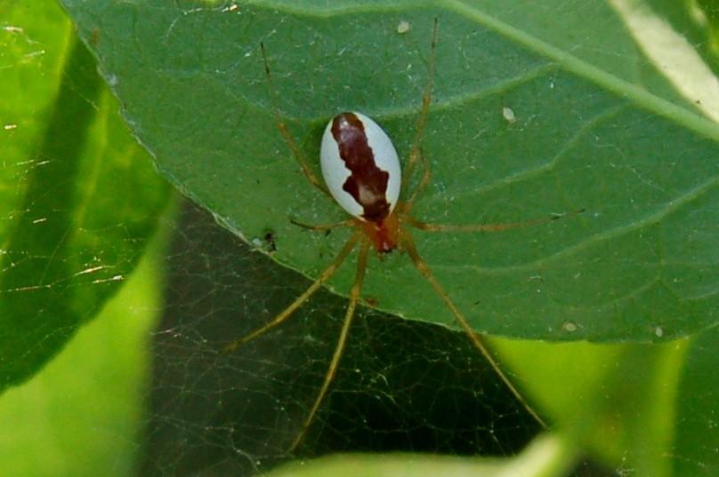 Neriene sp. - Linyphiidae