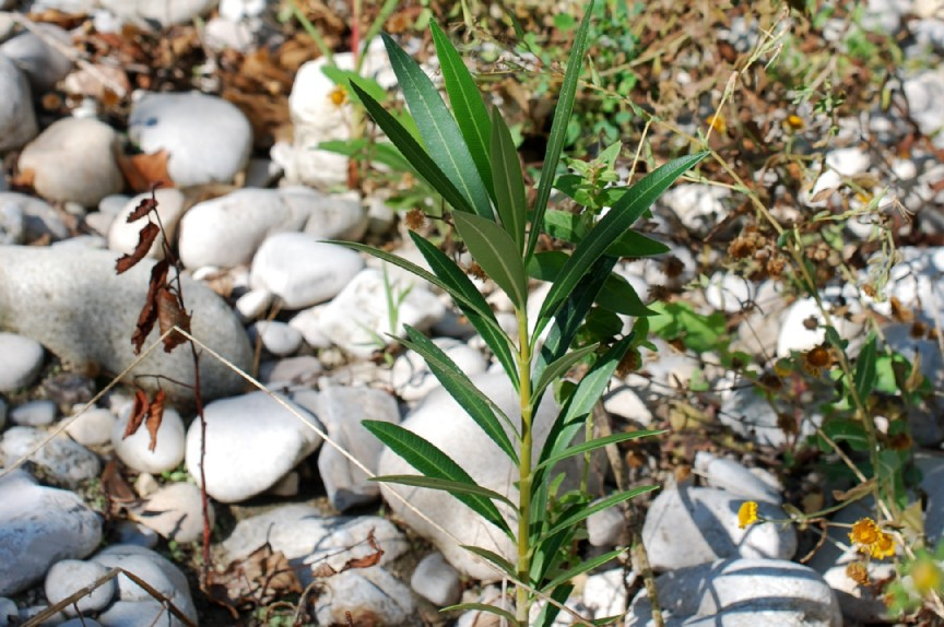 Nerium oleander 16
