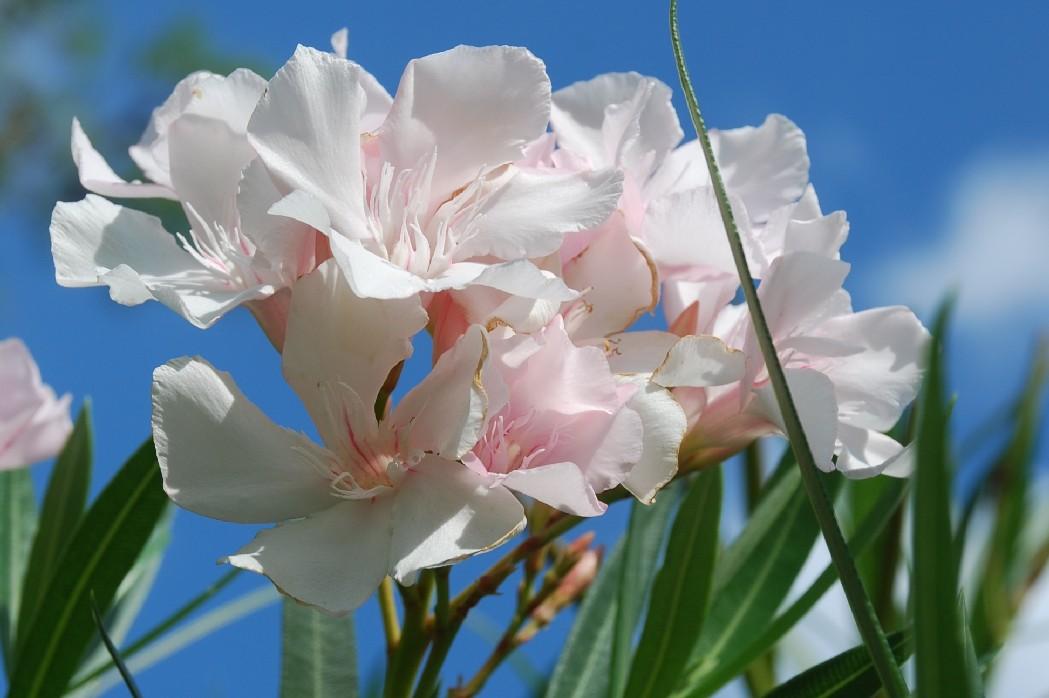 Nerium oleander 2