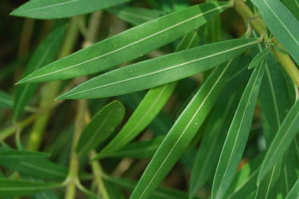 Nerium oleander 8