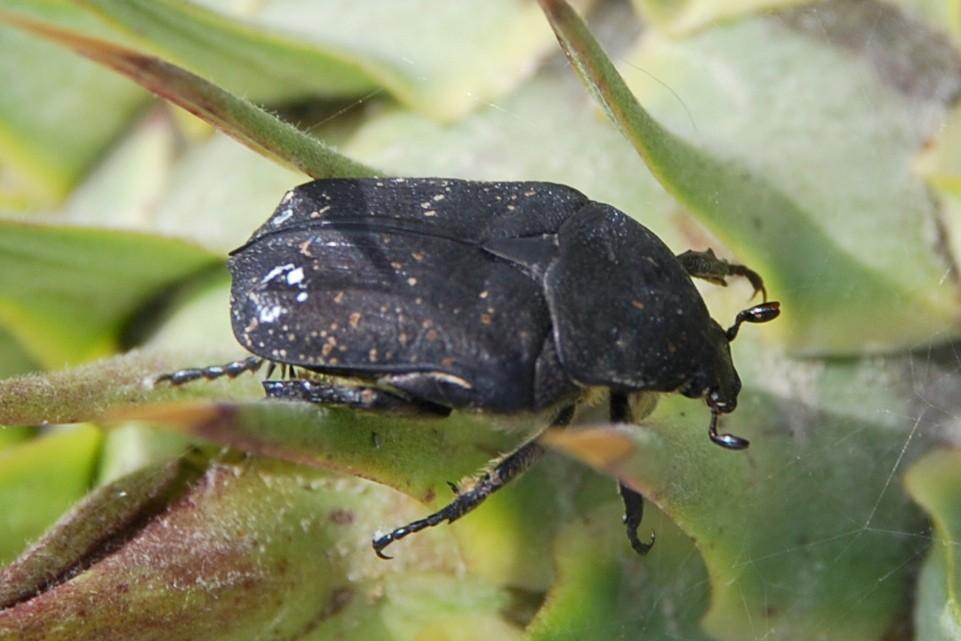 Netocia morio - Cetoniidae