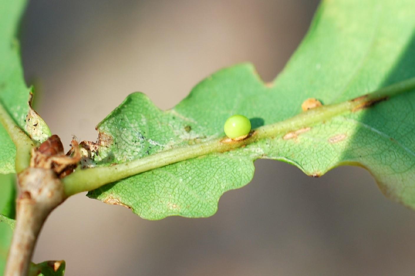 Neuroterus anthracinus - Hymenoptera, Cynipidae 2