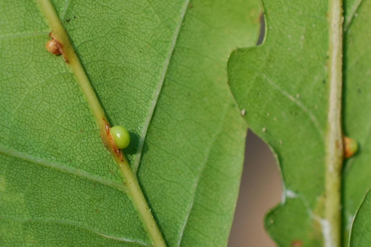 Neuroterus anthracinus - Hymenoptera, Cynipidae 3