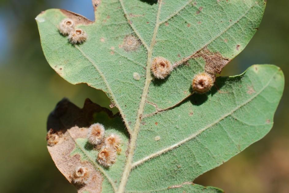 Neuroterus lanuginosus - Hymenoptera, Cynipidae