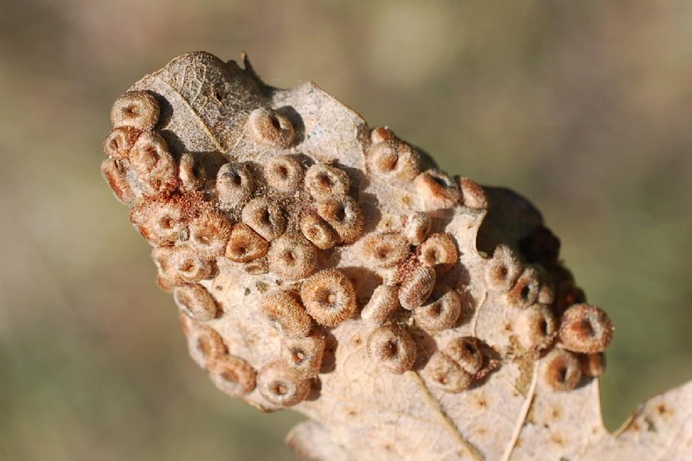 Neuroterus numismalis - Hymenoptera, Cynipidae