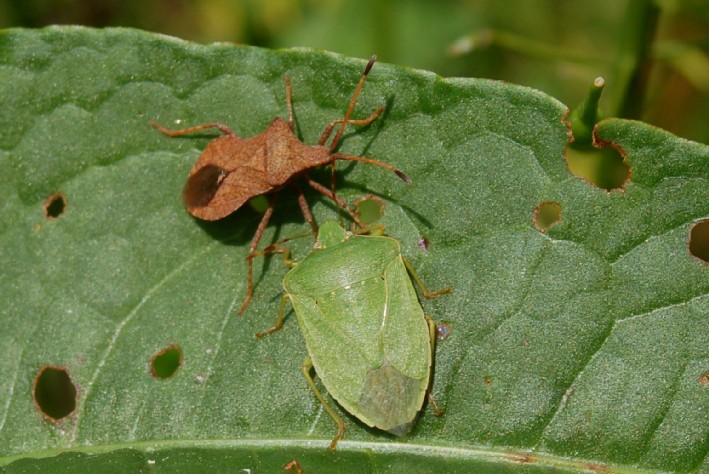 Nezara viridula - Pentatomidae