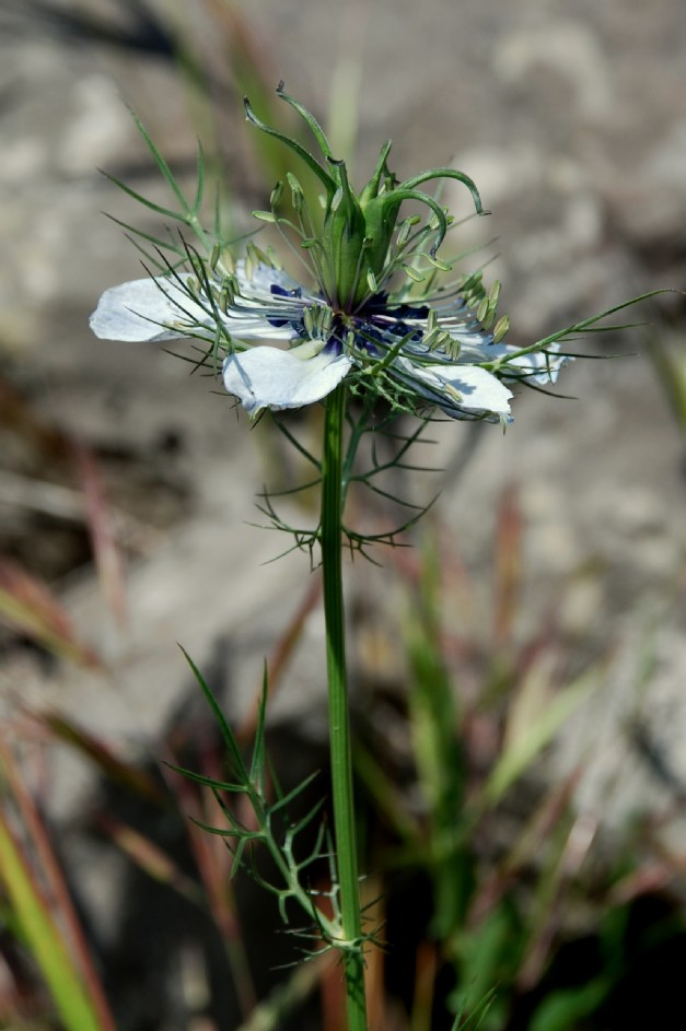 Nigella demascena