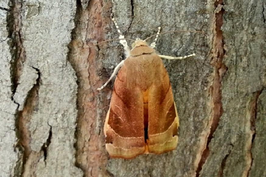 Noctua fimbriata - Noctuidae