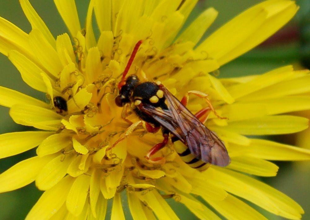 Nomada sp. - Apidae-Nomadinae