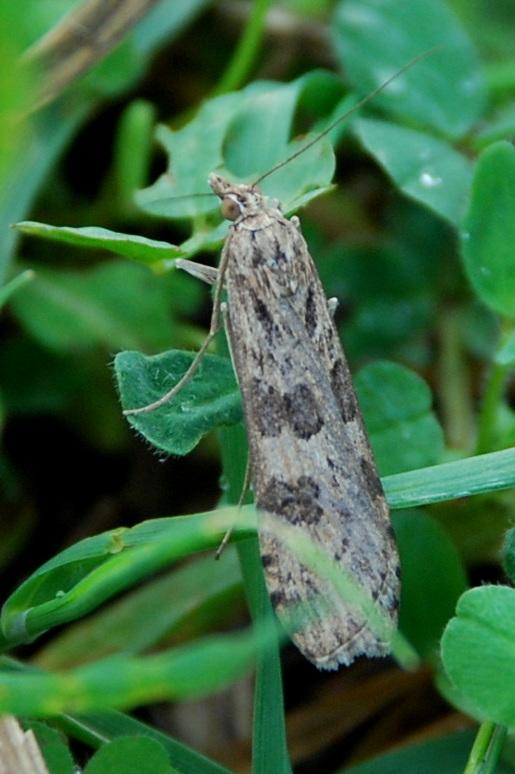 Nomophila noctuella - Crambidae